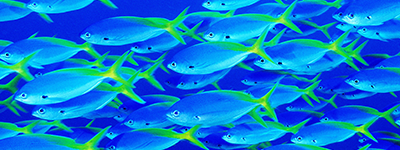 Photo of blue fish